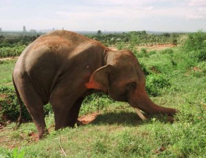 Killer elephant 'Silver' chained and isolated in a field digs its tusks into an embankment in frustration. Silver killed British tourist Andrea Taylor and seriously injured her sister and father at the NongNooch Tropical Gardens in Pattaya, Thailand.